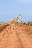 Free Giraffe in Kenya Royalty Free Stock Photography