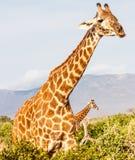 Free Giraffe in Kenya Stock Images