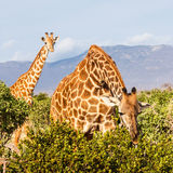Free Giraffe in Kenya Royalty Free Stock Image