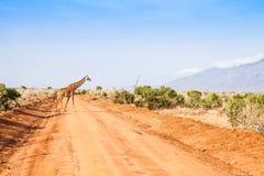 Free Giraffe in Kenya Stock Photos