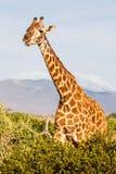 Free Giraffe in Kenya Royalty Free Stock Images