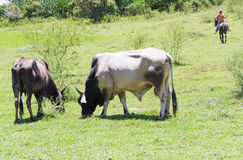 Free Grazing Cattle in Cuban Farm Royalty Free Stock Images