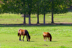 Free-grazing horses on green field. Stock Photos