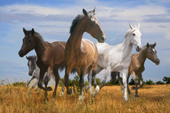 Free herd of horses galloping across the steppe. Spacious Stock Photos