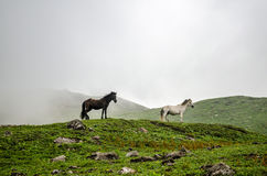 Free in Himalayas. Wild horses, free in himalayas Royalty Free Stock Images