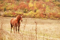 Free horse. Free red horse on the field by autumn forest Royalty Free Stock Photos