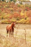 Free horse. Free red horse on the field by autumn forest Royalty Free Stock Photo