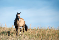 Free horse in dry summer field Royalty Free Stock Image