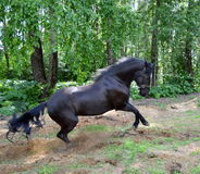 Free horse. Horses (Equus) in the wide sense of the word - the only living genus horses, horses or affected s. Solidungula), order equine (equine (perissodactyla Royalty Free Stock Photography