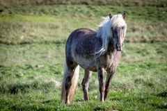 Free horse in Iceland that lives free Stock Photo