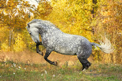 Free horse playing in the autumn background. Happy free grey horse playing in the autumn background stock photo