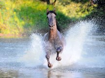 Free horse runs trough the splashes of water Royalty Free Stock Image