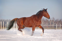 Free horse in winter Stock Image