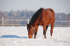 Free horse in winter background Royalty Free Stock Photography