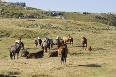 Free Horses. Horses standing in a pasture. South of Alps - France - Vercors Stock Images