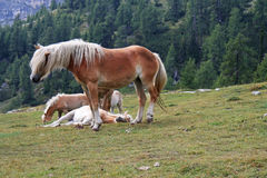 Free horses in the Alps Stock Image