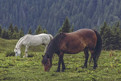 Free horses grazing Stock Photos