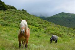 Free Horses in the hills. Free Horses in the hills Between le lioran et Vic sur Sère, France, A stallion and a merry in the background.n Royalty Free Stock Images
