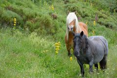 Free Horses in the hills. Free Horses in the hills Between le lioran et Vic sur Sere, France, A stallion and a merry Royalty Free Stock Images
