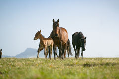 Free horses Royalty Free Stock Photography