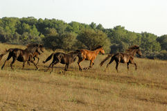 Free Horses. Free-roaming herd of feral horses in Letea Forest, Romania Royalty Free Stock Photo