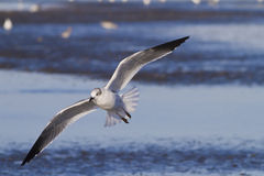 Free Like a bird. Laughing Gull in flight along the sea shore Stock Photo