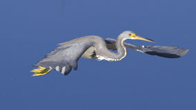 Free like a Tricolored Heron Stock Photography