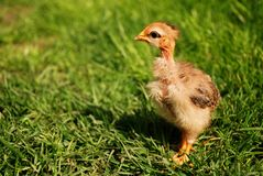 Free little chicken in the green grass Royalty Free Stock Photo