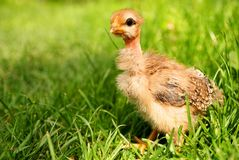 Free little chicken in green grass Stock Photography