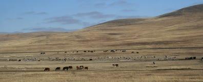 Free-living animals. Herd of free-living animals on the edge of the Gobi Desert Stock Photo
