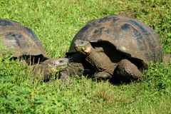 Free-living Galapagos giant tortoises on Santa Cruz Island, Gala Royalty Free Stock Photography