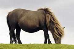 Free-living horse. A grazing free-living Exmoor pony Stock Image
