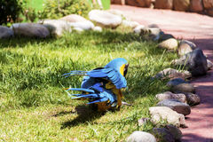 Free macaw parrot. Blue macaw parrot walking on the grass in the zoo in Marineland ,Spain Stock Photo
