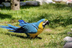 Free macaw parrot. Blue macaw parrot walking on the grass in the zoo in Marineland ,Spain Royalty Free Stock Photos