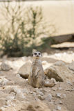 Free meerkat Royalty Free Stock Image