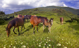 Free mountain grazing horses Stock Images