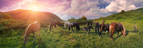 Free mountain grazing horses Stock Image
