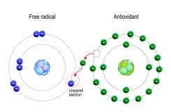 Free radical and Antioxidant. Structure of the atom. Antioxidant donates electron to Free radical vector illustration