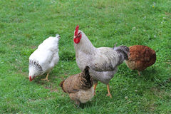Free-rance hens and rooster on grass. Free-rance hens and rooster on grass, close up image Stock Images