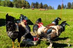 Free-range цыплята Стоковые Изображения