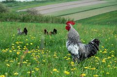 Free Range 2 Stock Photos