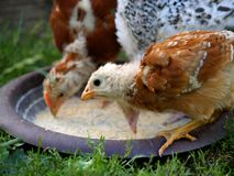Free range. Two free range chickens eating stock photography