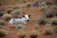 Free Range Baby Calf Utah Desert Stock Photography