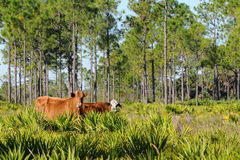 Free Range Beef. Florida is the second largest beef producing state.  A lot of grazing is done in pine flatwoods.  Instead of cowboys the herdmen are called cow Royalty Free Stock Image