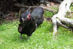 Free Range Black Chickens Stock Images