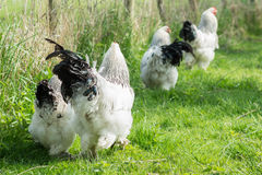 Free range Brahma chickens, hens and roosters, in a garden Stock Photo