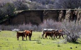 Free Range California Cattle Stock Photos