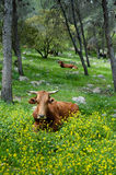 Free Range Cattle Royalty Free Stock Images