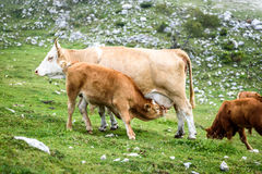 Free range cattle cows on high mountain green pasture. Royalty Free Stock Photography