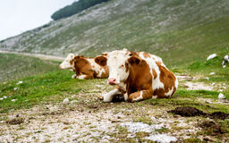 Free range cattle cows on high mountain green pasture. Royalty Free Stock Photos